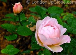 The rose beds in Paddington Street Gardens are an attraction in early summer.